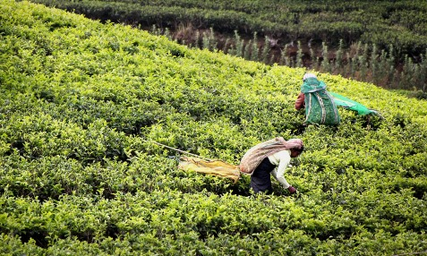 Tea Picking. Photo: Pixabay